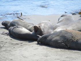 Elephant Seals!