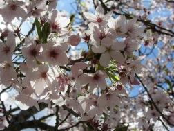 Blossom at Blenheim