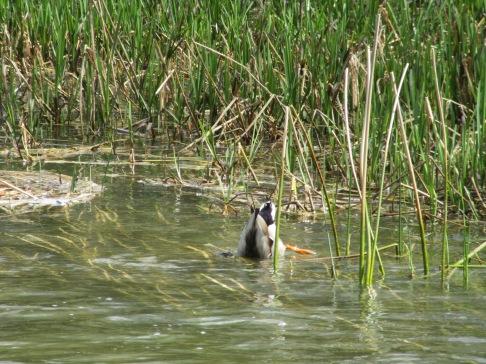 Upside down duck