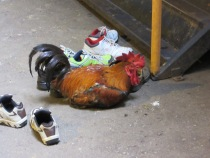 A chicken in the Batu Caves