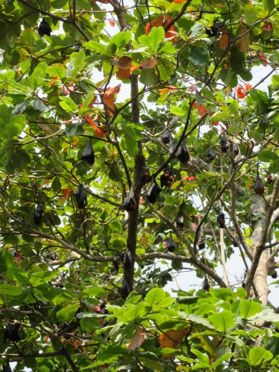 Fruit bats sleeping in the trees