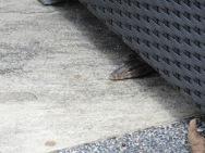 A lizard hiding under a chair