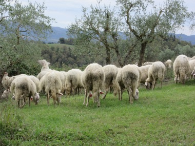 Sheep near the Villa Armena