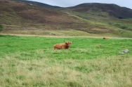 Cow in the Cairngorms National Park