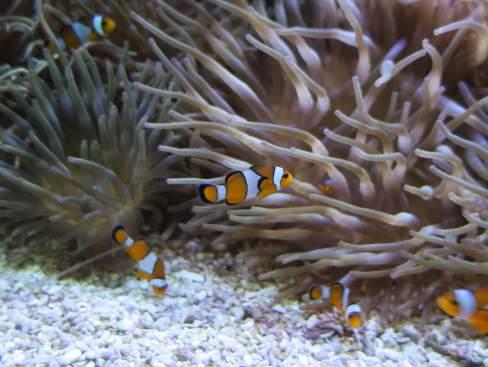 Clown Fish at Oceanographic Museum of Monaco